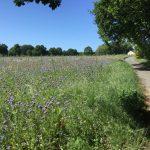 Bienenweide Krikedill Mitte Mai 2020