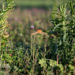Bienenweide Krikedill Ende April 2020
